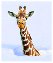 giraffe_in_snow